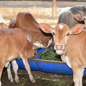 pakan fermentasi untuk ternak