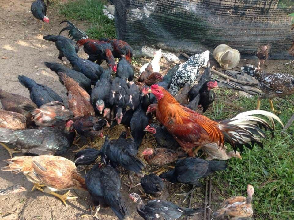 10 Bahan Pakan Alternatif Untuk Pakan Ayam