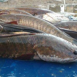 10 khasiat ikan gabus