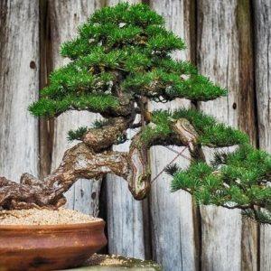 Tips Membuat Tanaman Bonsai