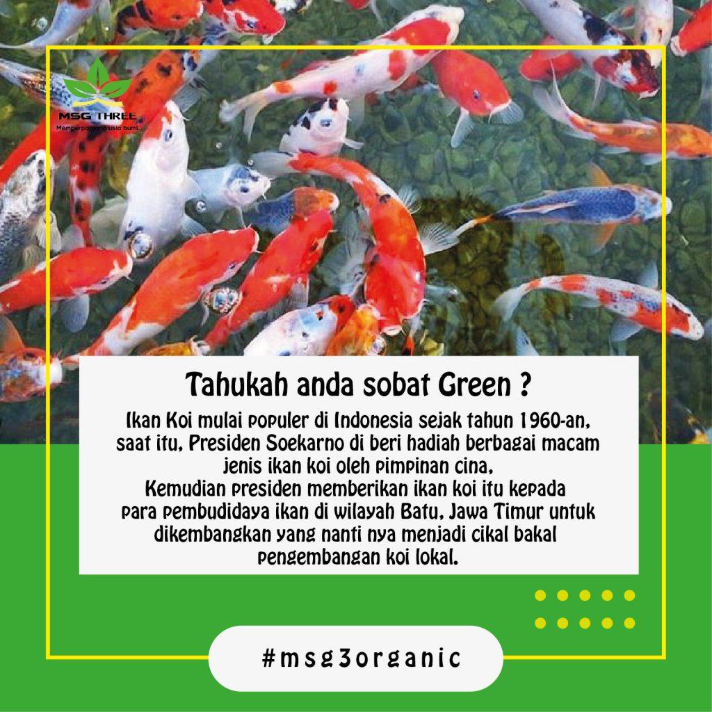 Budidaya Ikan Koi Maulana Says Green 3 Perikanan