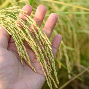 sejarah padi di indonesia