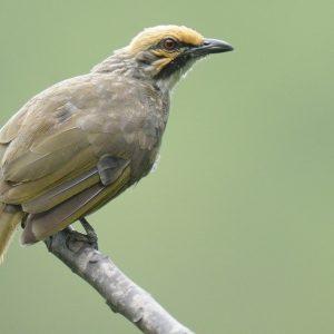 Cara budidaya Burung Cucak Rawa