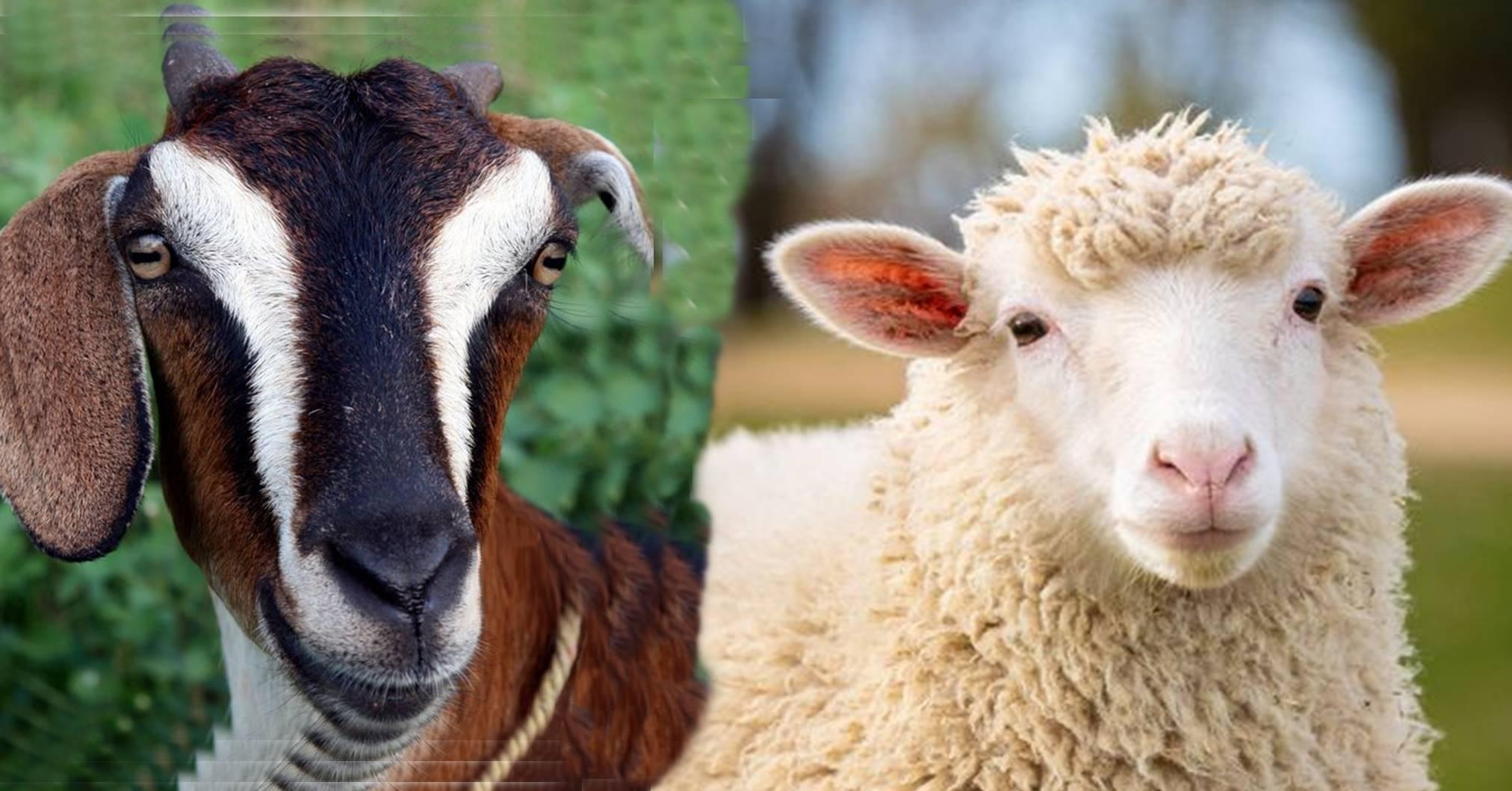 mengenal-perbedaan-domba-dan-kambing