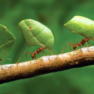 budidaya-kroto-atau-semut-rangrang