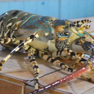 mengenal-lobster-mutiara