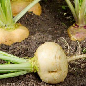 mengenal-turnip-sayuran-eropa