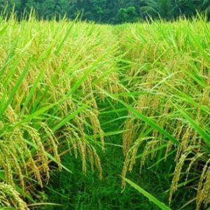 Tanaman-Padi-(Oryza Sativa)