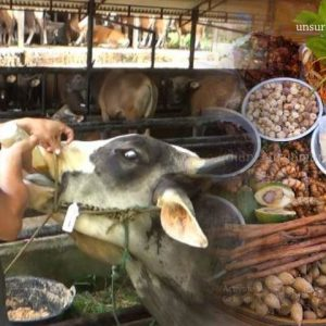 jamu-nafsu-makan-sapi