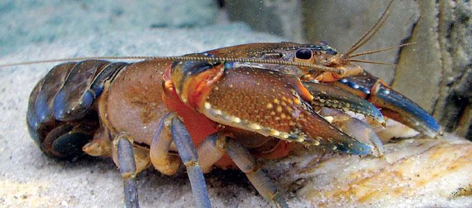 budidaya-lobster-air-tawar