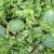 sukses menanam semangka di musim kemarau